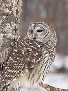 Framed Winter Snow Photograph Posters - Barred Owl in Winter Poster by Cindy Lindow