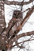 Owl Picture Prints - Barred Owl In Winter Print by Michelle Turner