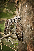 Barred Owls Framed Prints - Barred Owl Pair Framed Print by Bonnie Barry