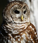 Paulette Thomas Photography Posters - Barred Owl Poster by Paulette  Thomas