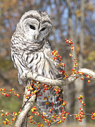 Bittersweet Photo Posters - Barred Owl Portrait Poster by Cindy Lindow