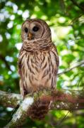 Birdwatching Framed Prints - Barred Owl Framed Print by Rich Leighton