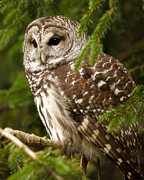 Owl Photo Framed Prints - Barred Owl Framed Print by Ron  McGinnis