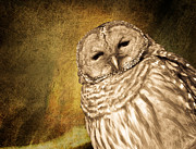 Michel Soucy Posters - Barred Owl with Textured background Poster by Michel Soucy