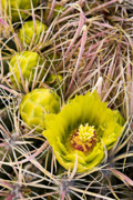 Holiday Cacti Posters - Barrel Cactus Ferocactus flowers Poster by Ed Book