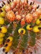 Barrel Cactus Posters - Barrel Cactus Poster by Karon Melillo DeVega