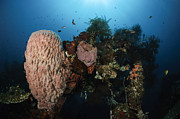 Barrel Sponge On Liberty Wreck, Bali Print by Todd Winner