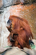Orangutan Photos - Bashful Orangutan by Randall Ingalls