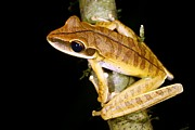 Anuran Art - Basin Treefrog by Dr Morley Read