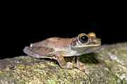 Anuran Art - Basin Treefrog by Tony Camacho