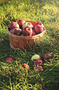 Fall Grass Prints - Basket of apples in the orchard Print by Sandra Cunningham