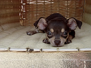 Tiny Dogs Photos - Basket of Joy by Zianni Coats