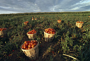 Baskets Framed Prints - Baskets Of Fresh Tomatoes In A Field Framed Print by Michael Melford