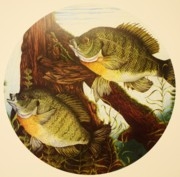 Mounted Fish Framed Prints - Basking Bluegills Framed Print by Bruce Bley