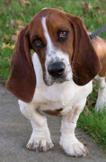 Basset Hound Photos - Basset Hound by Jim and Emily Bush