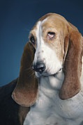 Basset Hound Photos - Basset Hound by Tim Flach