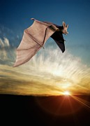Bat Photos - Bat In Flight, Artwork by Victor Habbick Visions