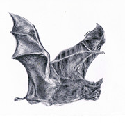 Lucy D Drawings Metal Prints - Bat Metal Print by Lucy D