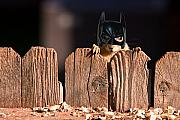 Animal Faces Framed Prints - Bat Squirrel  the Cape Crusader known for putting away nuts.  Framed Print by James Bo Insogna