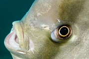 Ephippidae Photos - Batfish Head by Matthew Oldfield
