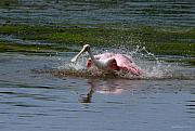 Spoonbill Photos - Bath Time by Joseph G Holland