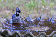 Bluejay Metal Prints - Bathing Bluejay Metal Print by Joy Tudor