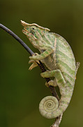 Madagascar National Park Prints - Baudriers Chameleon Furcifer Balteatus Print by Pete Oxford
