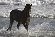 Bay Andalusian Stallion In The Surf Print by Carol Walker