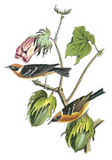 Warbler Paintings - Bay-breasted Warbler by John James Audubon