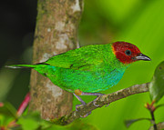 Neotropical Posters - Bay-headed Tanager Poster by Tony Beck
