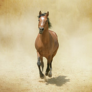 Dust Posters - Bay Horse Galloping In Dust Poster by Christiana Stawski