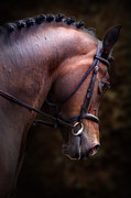 Plaited Posters - Bay Horse Head Poster by Ethiriel  Photography