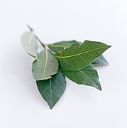 Nobilis Framed Prints - Bay Leaves Framed Print by David Munns