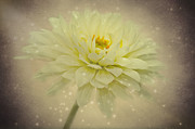 Aster Prints - Be a star Print by Angela Doelling AD DESIGN Photo and PhotoArt