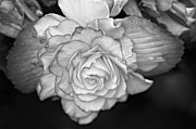 Begonia Photos - Be Gentle bw by Steve Harrington