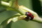 Ladybugs Photos - Be Mine by Sharon  Talson