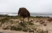 Ostrich Photo Prints - Beach Bird Print by Aidan Moran