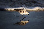 Beach Bird Print by Thomas Photography  Thomas