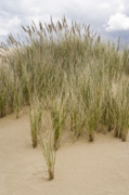 Oregon Dunes National Recreation Area Prints - Beach grasses at Oregon Dunes Print by Ed Book