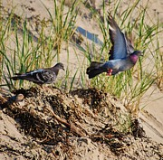 Joy Bradley - Beach Pigeons
