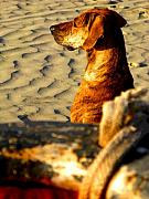 Michael Metal Prints - Beach Pooch by Michael Fitzpatrick Metal Print by Olden Mexico