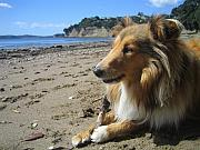 Lassie Posters - Beach Sheltie Poster by Sheltie Planet