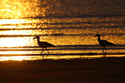 Beach Sunsets Prints - Beach Stone-curlews At Sunset Print by Bruce J Robinson