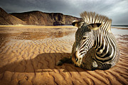 Sitting Photo Prints - Beach Zebra Print by Carlos Caetano