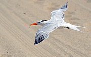Tern Framed Prints - Beachcomber Framed Print by Fraida Gutovich