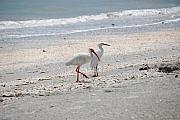 Florida Wildlife Framed Prints - Beachcombers Framed Print by Peter  McIntosh