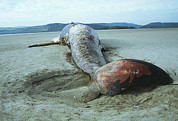 Beached Photos - Beached Sei Whale by Andy Harmer