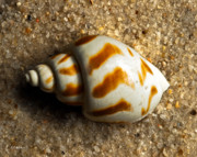 Beached Shell Print by Christopher Holmes