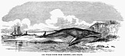 1859 Photos - Beached Whale, 1859 by Granger