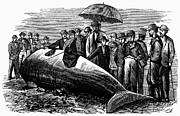 Beached Photos - Beached Whale, 1869 by Granger